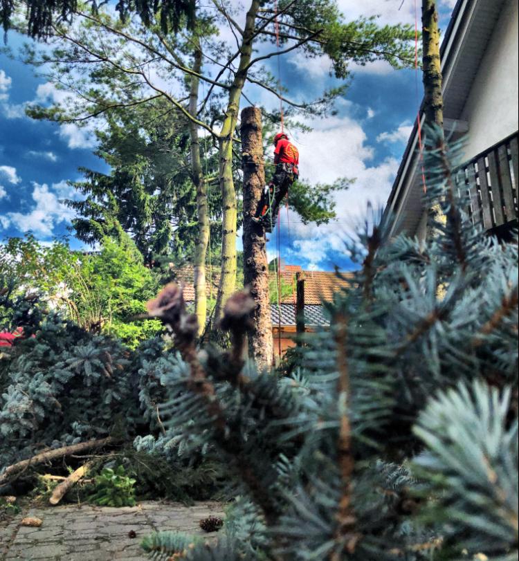 Baumpflege Baumfällung baumteufel-galabau-baumarbeiten-skt-seilklettertechnik